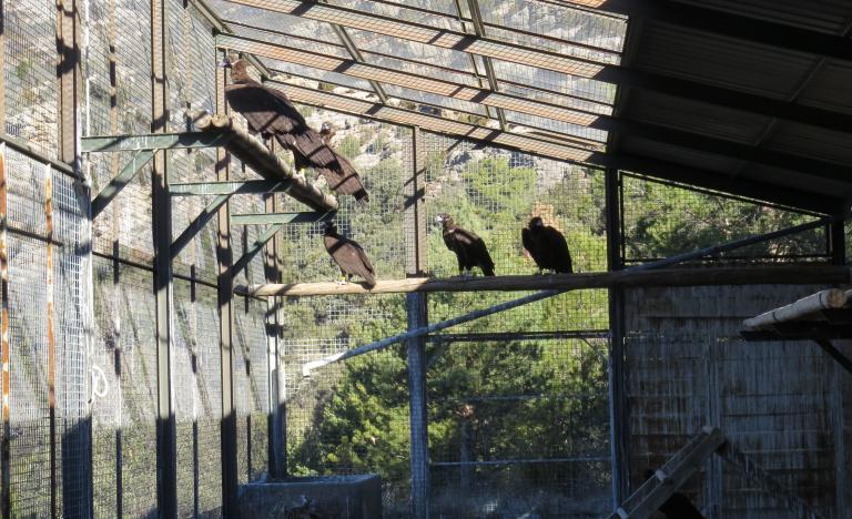 Seis de los siete ejemplares de buitre negro antes de la liberación