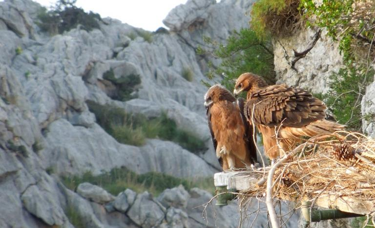 Pair of eagles the day before their first flight in the Sierra de Tramontana