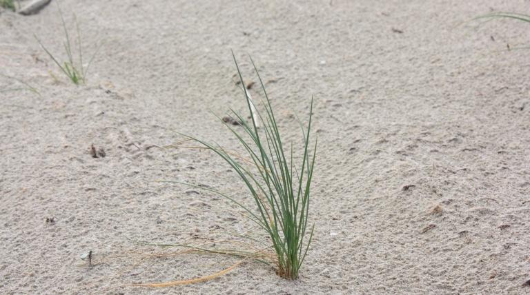 Detalle planta usada para la plantación (Elymus farctus).
