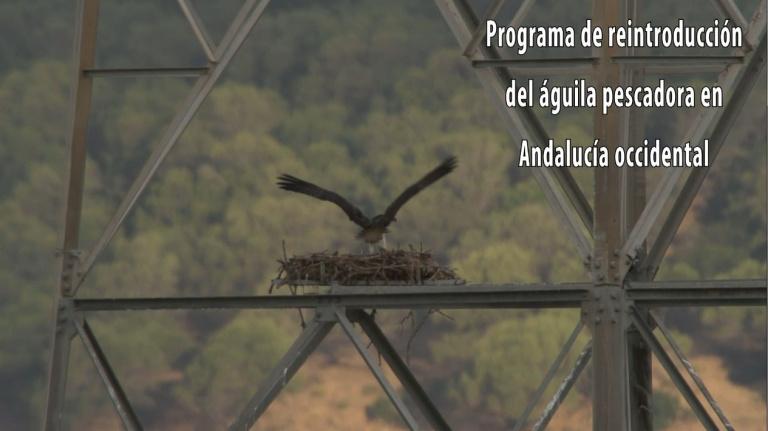 "Vídeo ""Programa de reintroducción del águila pescadora en Andalucía occidental"""