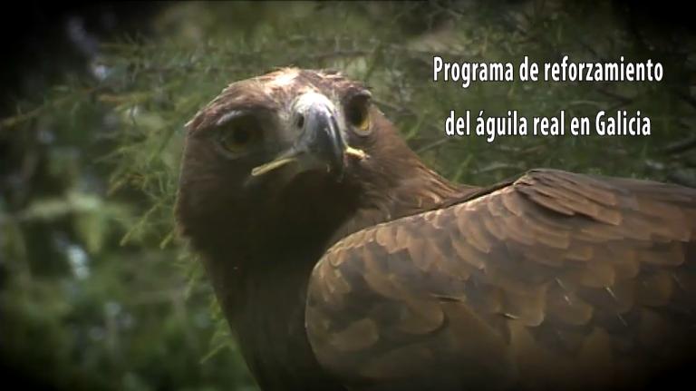 Video 'Video 'Programa de reforzamiento del águila real en Galicia'