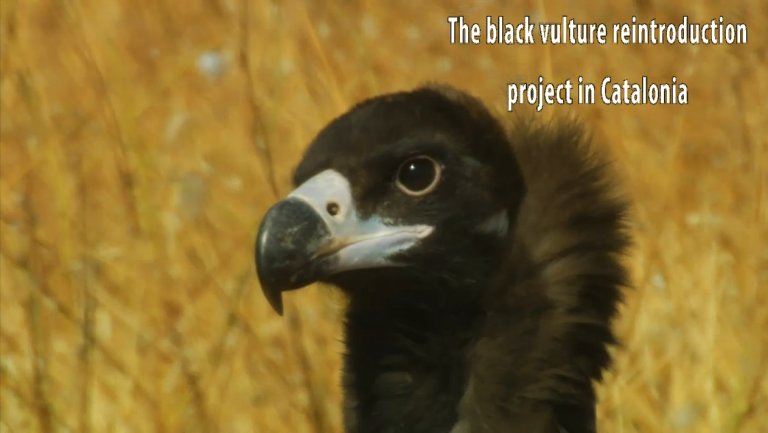 """Video """"The black vulture reintroduction project in Catalonia"""""""