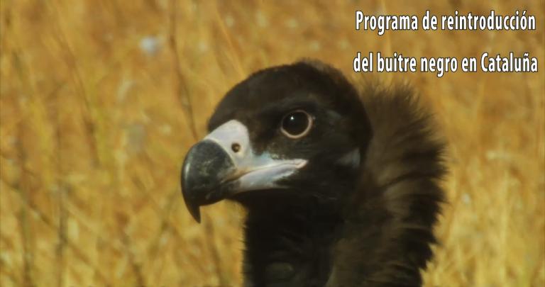 Video 'Programa de reintroducción del buitre negro en Cataluña'